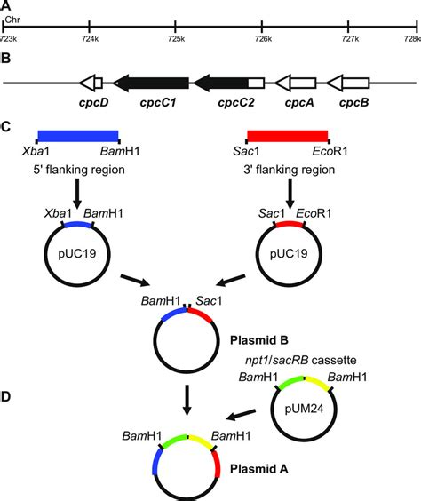 Plasmid construction for generation of marked and unmarked