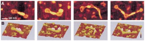 AFM images of circular nicked pUC19 molecules after